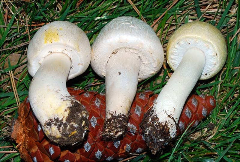 A. xanthodermus, A. campestris, and A. arvensis.