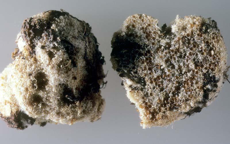 Glomus_macrocarpum%28mgw-01%29.jpg