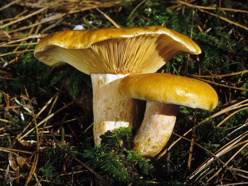 California Fungi: Lactarius deliciosus