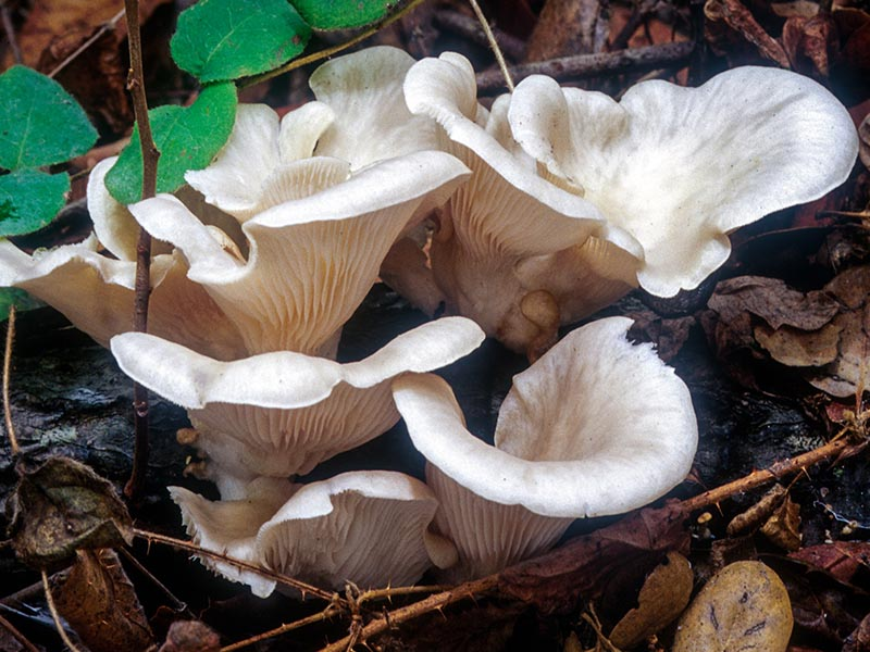 Pleurotus ostreatus: © Michael Wood -- click for larger image