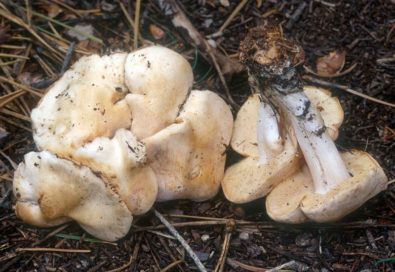 Rhodocollybia maculata