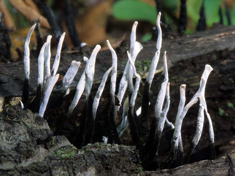 California Fungi  Xylaria Hypoxylon