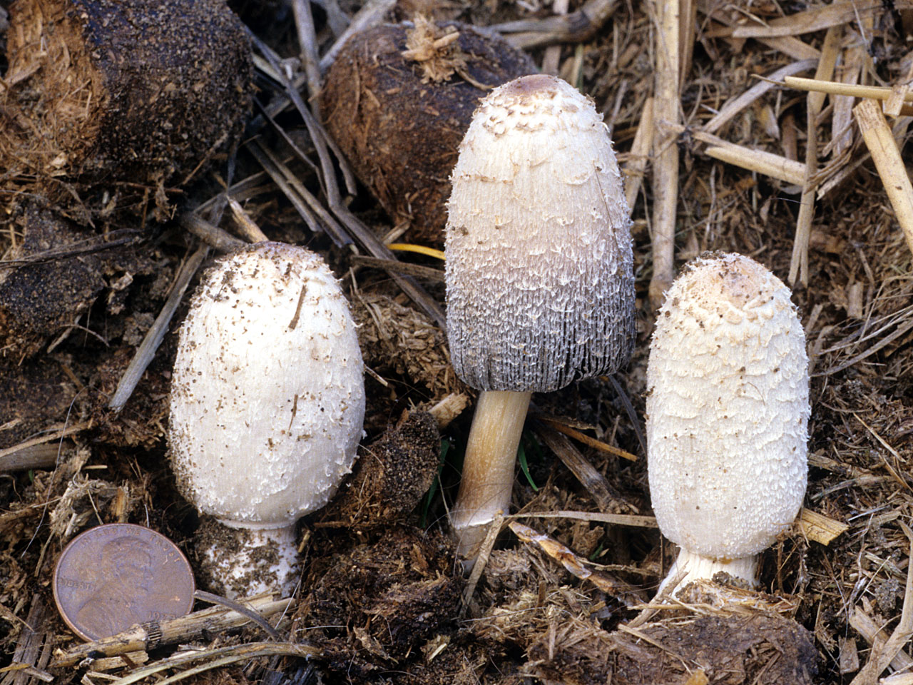 Coprinus sterquilinus (, Fries), Fries -- Discover Life