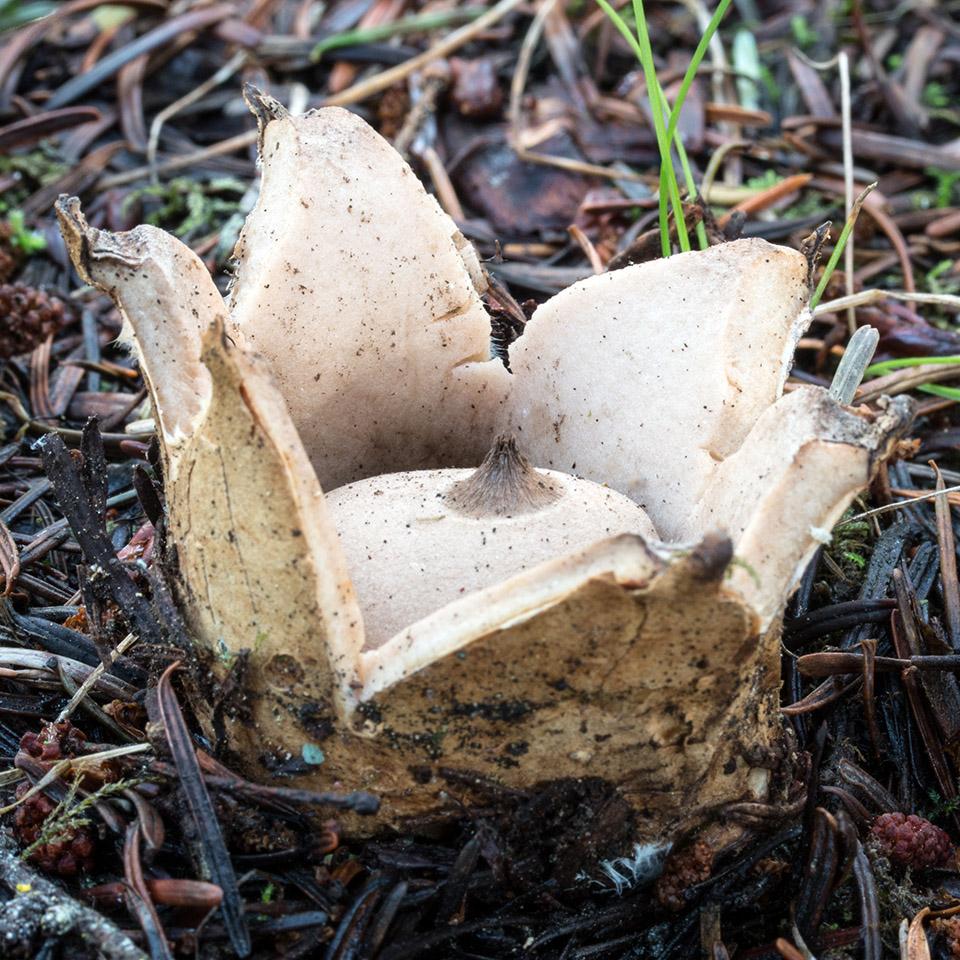 California Fungi: Geastrum saccatum
