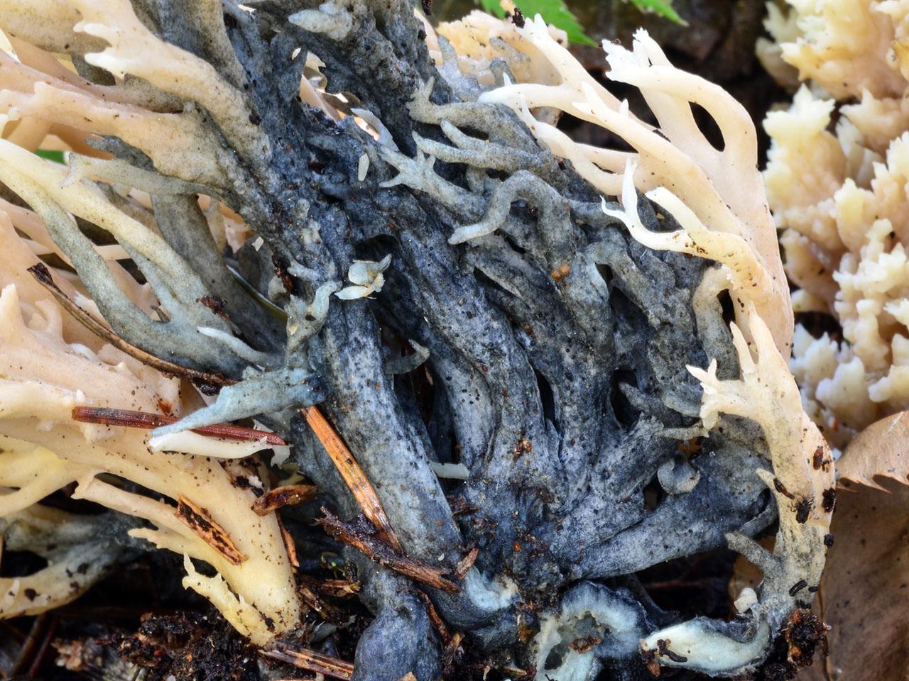 helminthosphaeria clavariarum