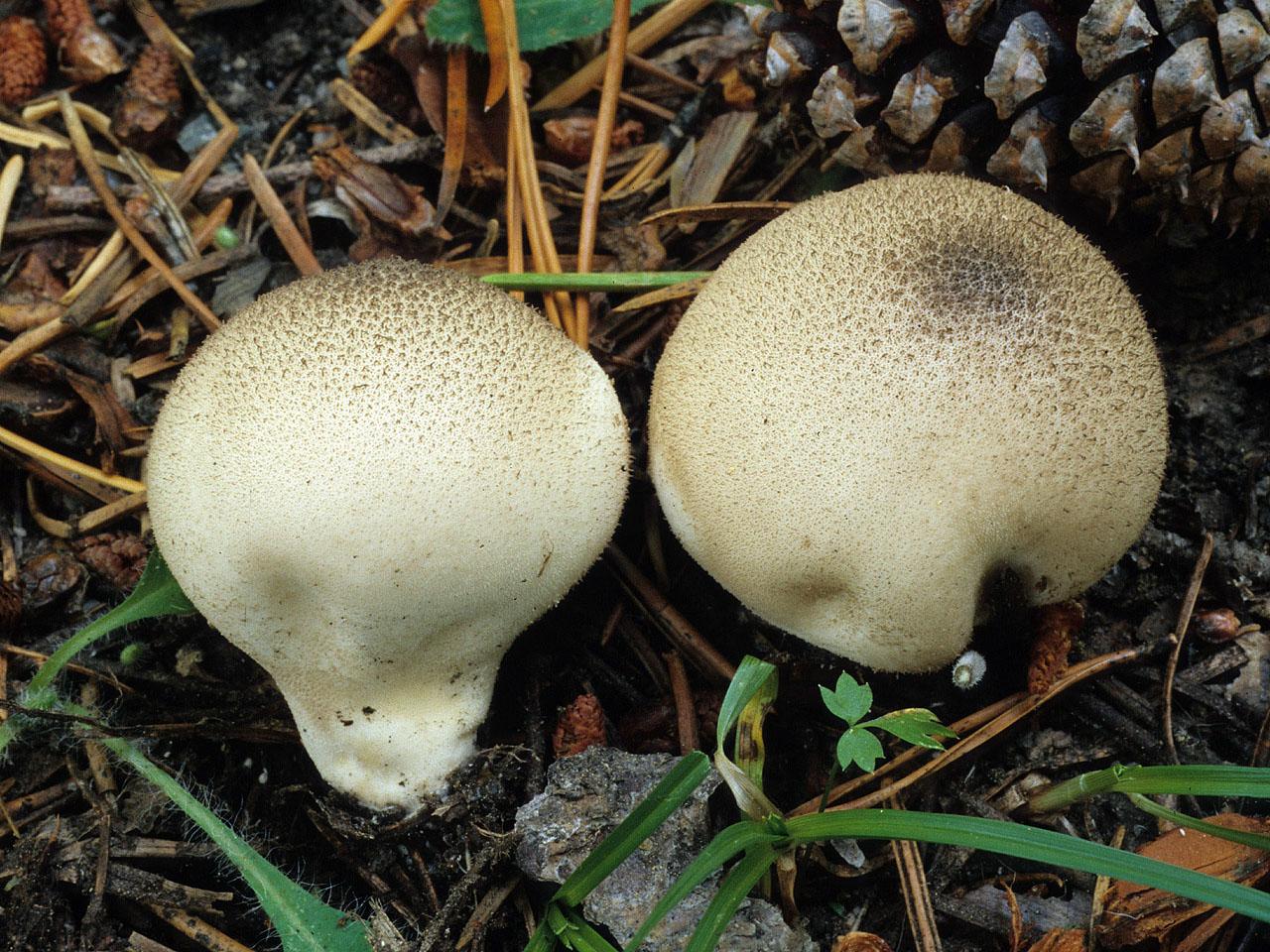 California Fungi Lycoperdon Molle