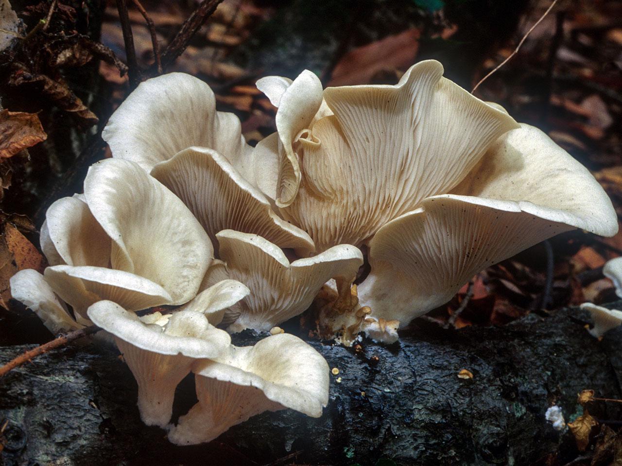 California Fungi: Pleurotus ostreatus