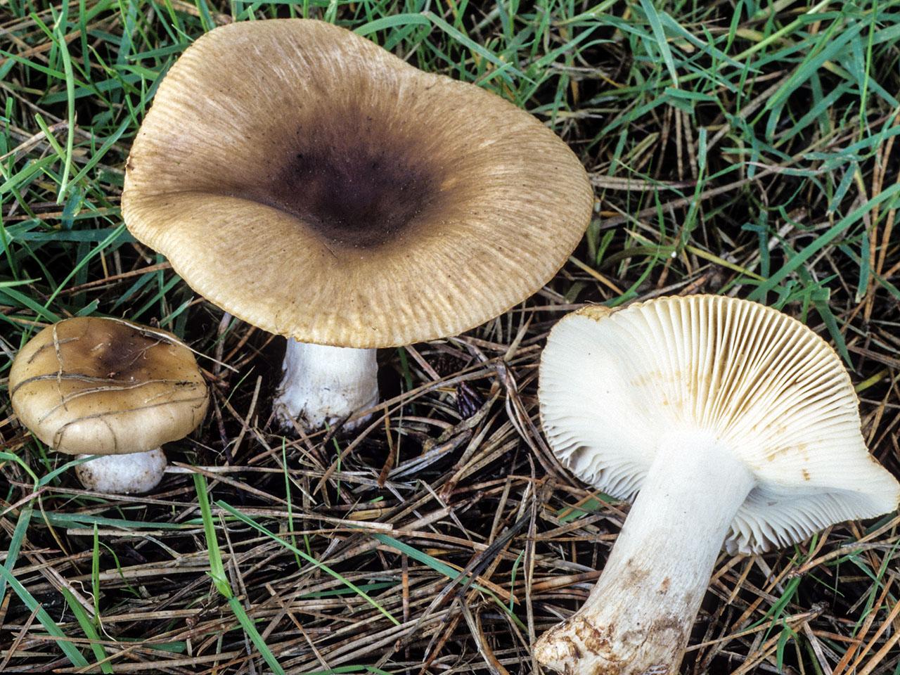 California Fungi Russula Cerolens