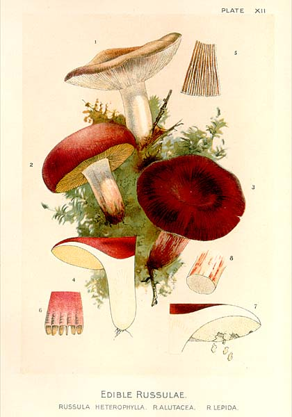 Mykoweb Color Plates From Our Edible Toadstools And Mushrooms